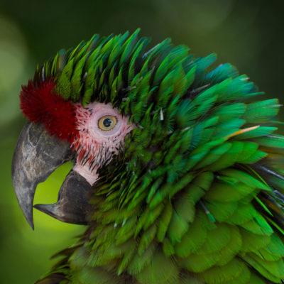 Military Macaw – Nikon D7100