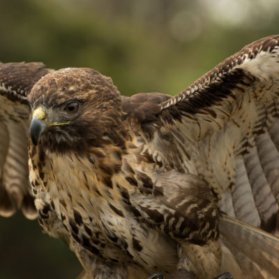 Red Tailed Hawk – Nikon D7100