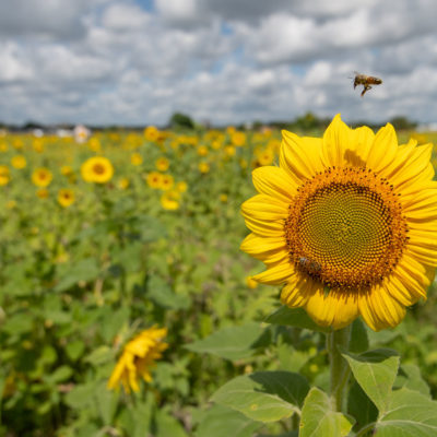 Sunflower Farm – Nikon D500 & Tamron 15-30 G2