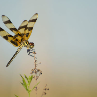 Halloween Pennant Dragonfly – Nikon D7100