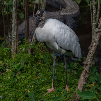 Woodstork with Alligator – Nikon D500 & Tamron 18-400