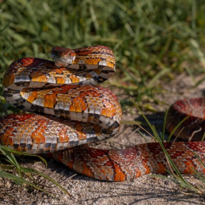 Red Rat Snake - Nikon Z6 and Nikkor 24 -70